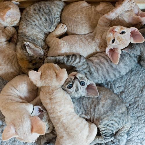 Sphynx Cat Litter Box Training